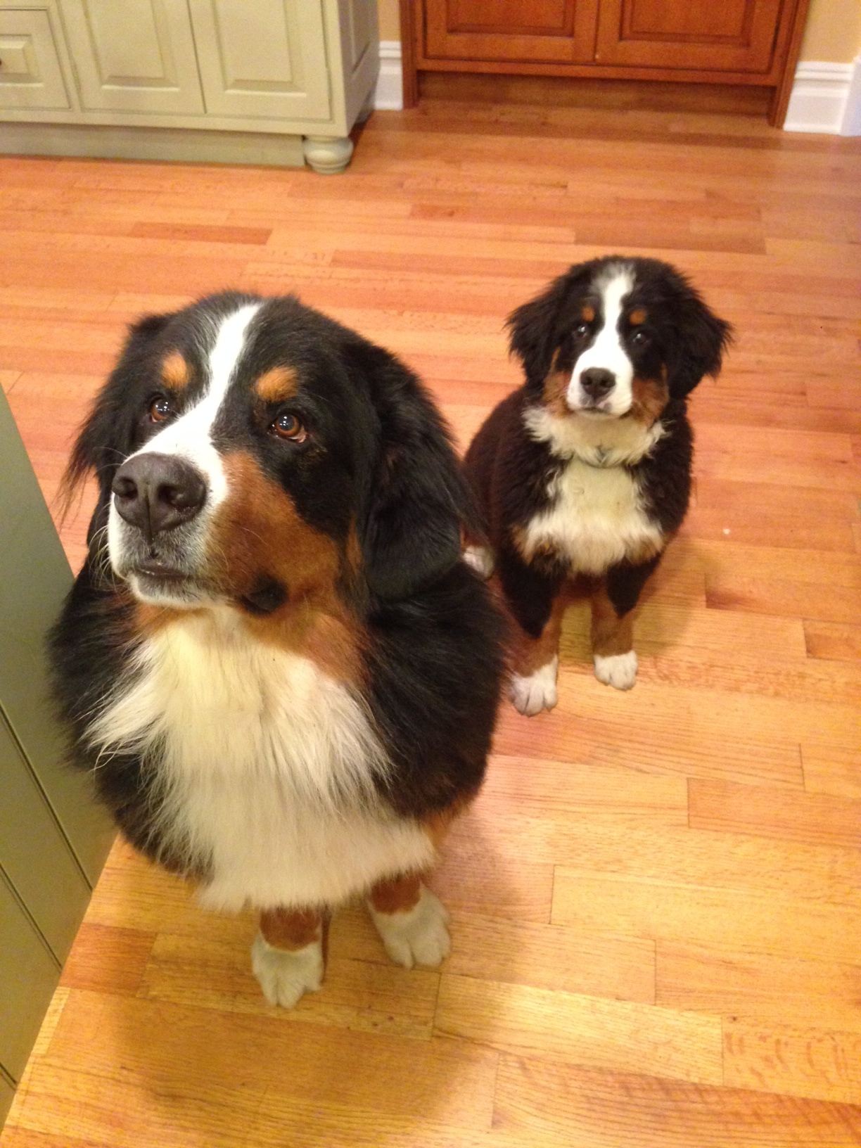 Life With Two Bernese Mountain Dogs Yesitreallyhappened